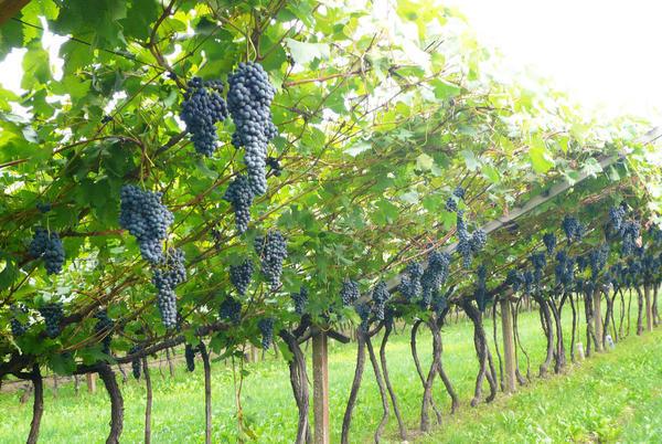 Irrigazione Viticoltura Agristella Pali Per Vigneti Pali